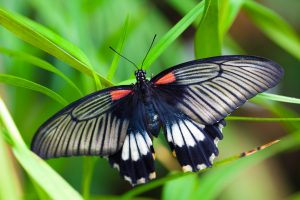 Black White Red Butterfly