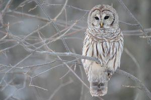 White Owl Tree