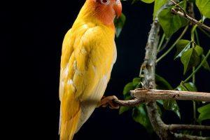 Yellow Parrot