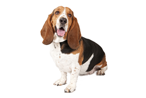Basset Hound HD Wallpaper Download For Android Mobile