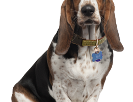 Basset Hound PNG HD Wallpaper Download For Android Mobile | Wallpaper HD For I Phone Six Free Download