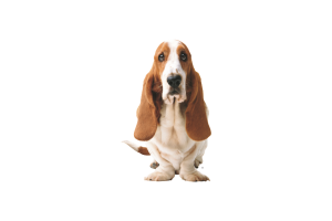Cure Basset Hound Picture Full HD Wallpaper Download