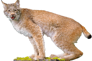 Lynx HD Wallpaper Download For Android Mobile Wallpapers HD For I Phone Six Free Download