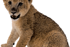 Cute Small Lion PNG Image