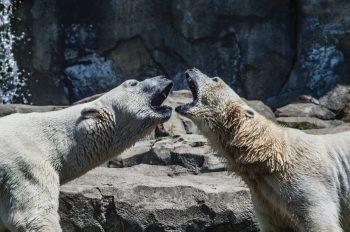 Bear Fighting Nature Love