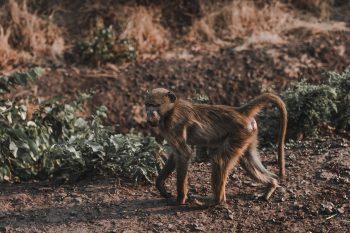 Ape Image Jungle