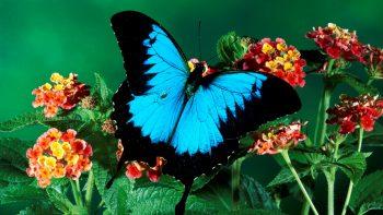 Sky Dark Color Butterfly