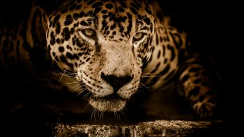 Amazing Jaguar Photo
