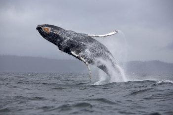 Big Whale Fish in Blue Sea HD Wallpaper