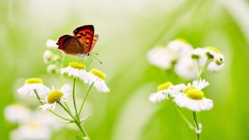 Butterfly Over White Daisies