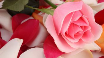 Pink Rose Beautiful Copy