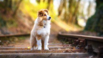 Shetland Sheepdog Best HD Image