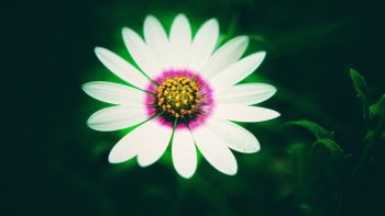 White Daisy Flower Best HD Image