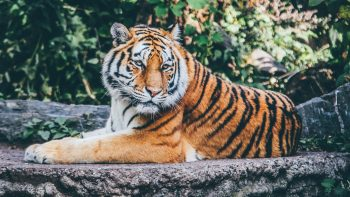 Zoo Tiger Best HD