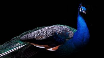 Beautiful Peacock Download HD Wallpaper