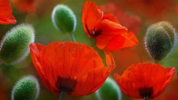 Beautiful Poppy Flowers