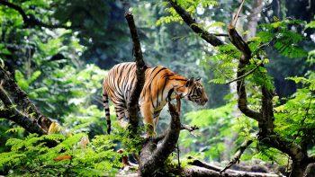 Bengal Tiger In Jungle Full HD Wallpaper Download