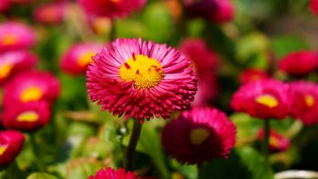 Pink Daisies HD Wallpapers For Android