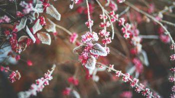 Snow Cherry Leaves