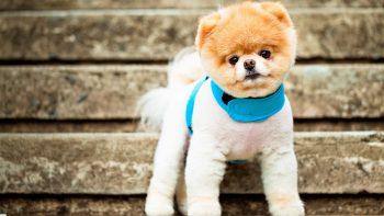 Boo The Cutest Dog