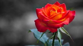 Orange Rose Full HD Wallpaper Download Free