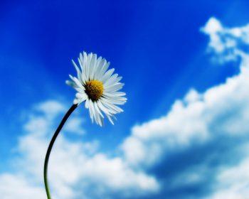 Beautiful Sky White Flower