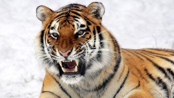 Wild Tiger Predator 3D HD Wallpaper Download Wallpapers