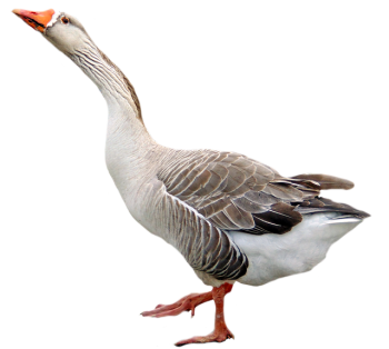 Goose Transparent Walking PNG Image HD Wallpapers Download For Android Mobile