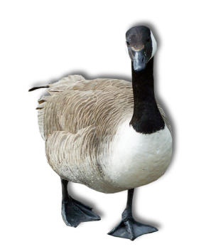 Fat Walking Goose Transparent Image PNG Image HD Wallpapers Download For Android Mobile