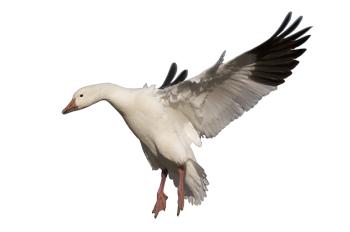 Landing  White  Goose  PNG Image HD Wallpaper Download For Android Mobile Wallpapers HD For I Phone Six Free Download
