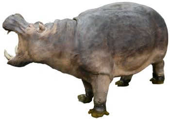 3D Hippopotamus PNG Image HD Wallpaper Download For Android Mobile Wallpapers HD For I Phone Six Free Download