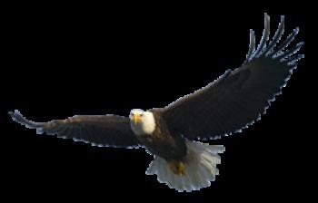 Download Bald Eagle Free Png Image