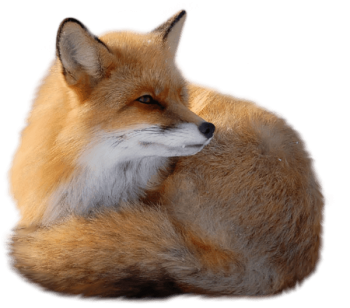 Relaxing Fox  PNG image HD Wallpaper Download For Android Mobile Wallpapers HD For I Phone Six Free Download