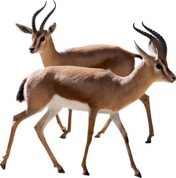 Playing  Gazelle PNG Image HD Wallpapers For Android