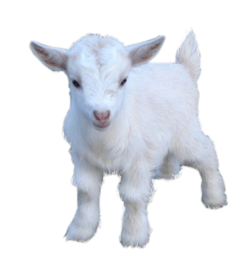 White Cute Baby Goat PNG Image HD Wallpaper Download For Android Mobile Wallpapers HD For I Phone Six Free Download