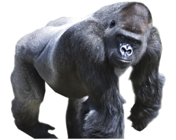Walking   Black Huge Gorilla  PNG image HD Wallpaper Download For Android Mobile Wallpapers HD For I Phone Six Free Download