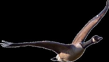Flying  Goose  Transparent PNG Image Transparent