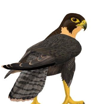 Black  Falcon PNG Image HD Wallpapers Download For Android Mobile