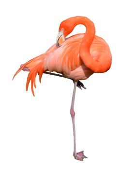 Orange Color  Flamingo PNG Image HD Wallpapers For Android