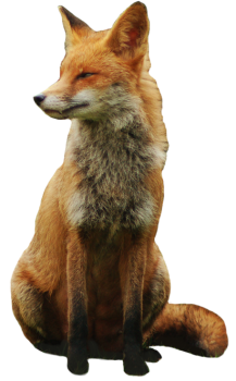 Fox PNG  Wallpaper HD Wallpaper Download For Android Mobile Wallpapers HD For I Phone Six Free Download