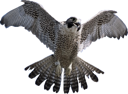 Flying  Falcon PNG  Image HD Wallpapers Download For Android Mobile