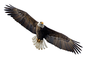 Soaring Eagle Transparent PNG Image HD Wallpapers Download For Android Mobile