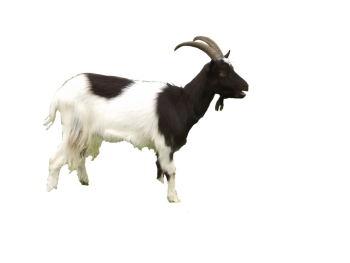 Black and White  Goat PNG Image HD Wallpapers For Android