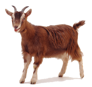 Goat Free PNG Image HD Wallpapers For Android