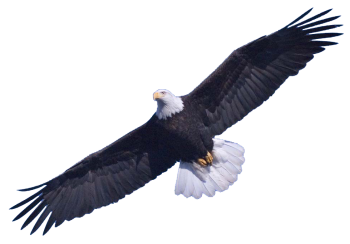 HD Bald Eagle Download PNG HD Wallppers For Android