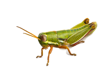 Indian Grasshopper PNG image HD Wallpapers Download For Android Mobile