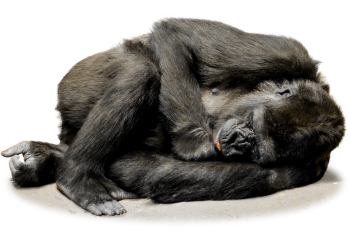 Sleeping Gorilla  PNG  Image HD Wallpapers Download For Android Mobile