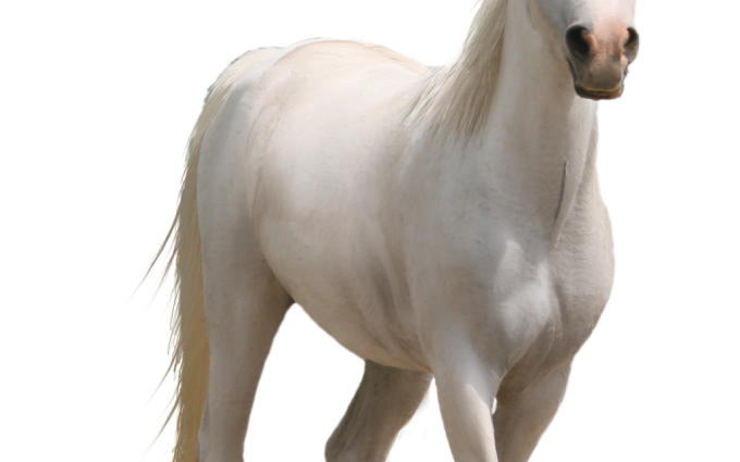 White Horse Png Hd Wallpapers For Android - Download Hd -9966
