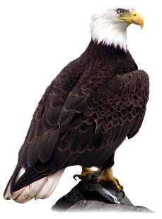 Transparent Bald Eagle PNgG Image HD Wallpapers For Android