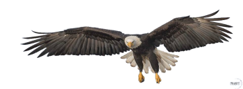 Transparent Flying Eagle PNG Image HD Wallpapers For Android